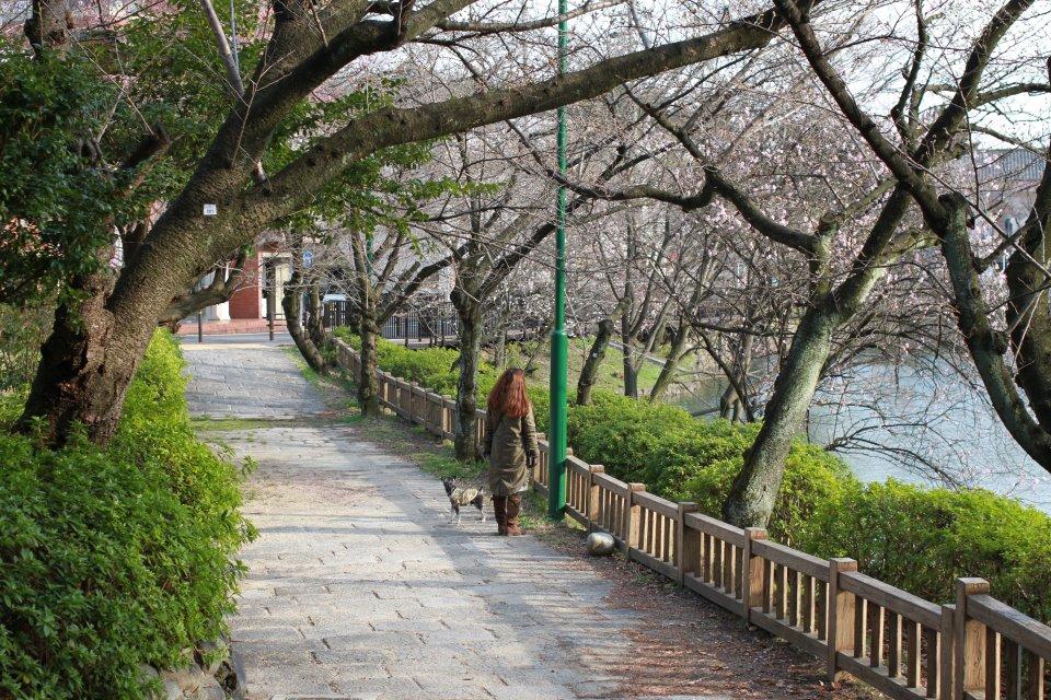 BOZZの散歩、名古屋の桜状況_e0034141_749137.jpg