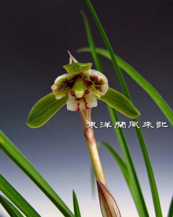 奥地蘭・豆弁蘭「三星蝶」               No.1143_d0103457_0251444.jpg