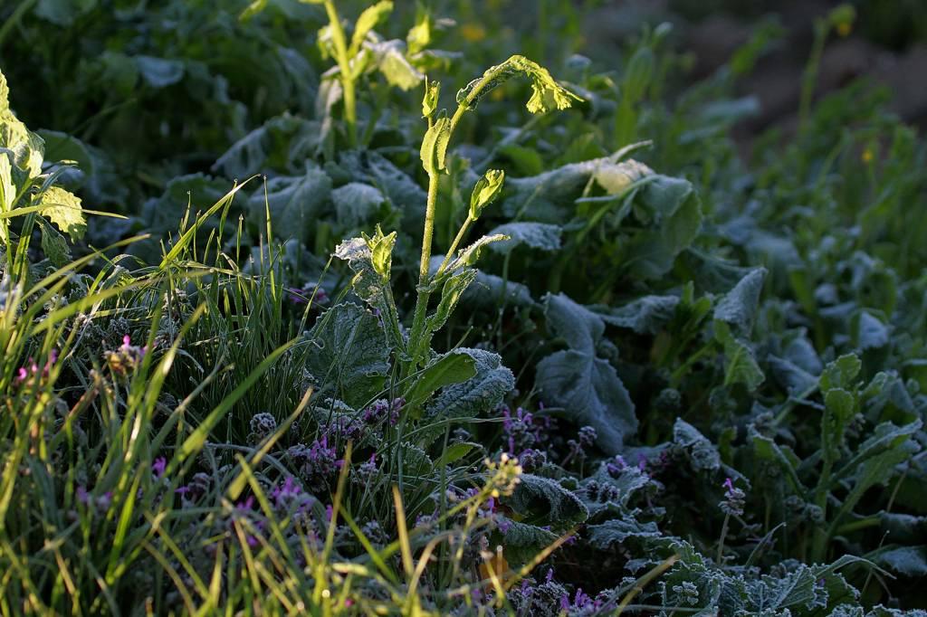 超大物をGET・可成り刺激的!!/菜の花も霜で真っ白_b0024798_11572783.jpg
