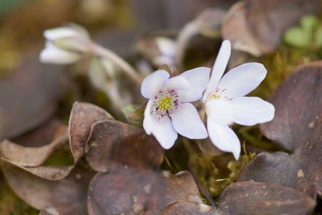 自宅の花(5) ミスミ草_b0223668_722527.jpg