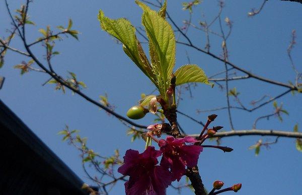 芽吹きの季節⑥「サクラ」_d0030373_2131132.jpg