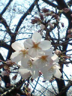 桜見ました_e0149436_22474056.jpg