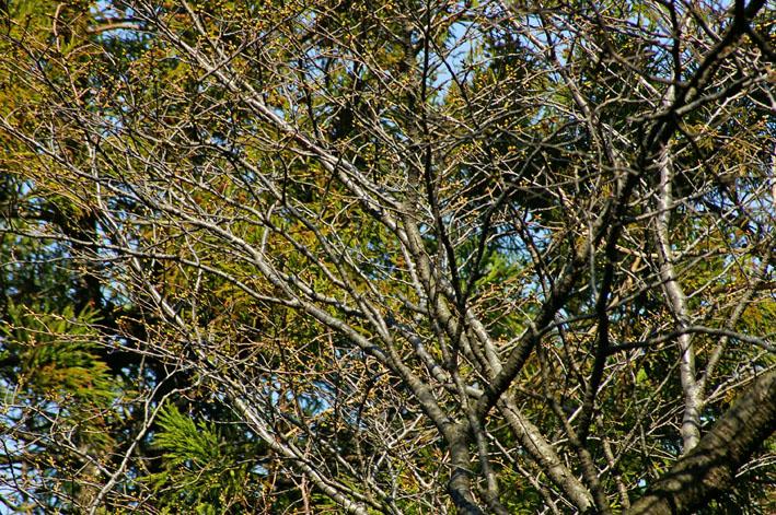 六国見山の夫婦桜、見ごろは4月10日過ぎか(3・27)_c0014967_17575019.jpg