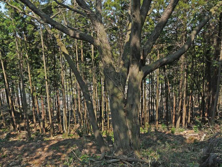 六国見山の夫婦桜、見ごろは4月10日過ぎか(3・27)_c0014967_17591455.jpg