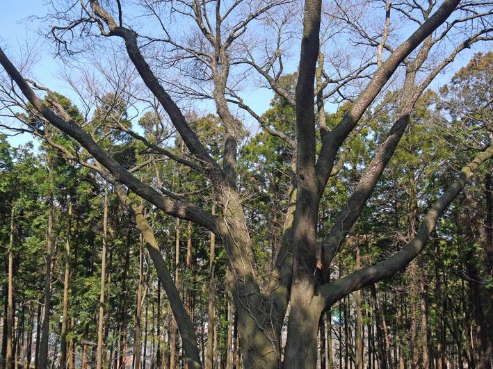 六国見山の夫婦桜、見ごろは4月10日過ぎか(3・27)_c0014967_17592883.jpg