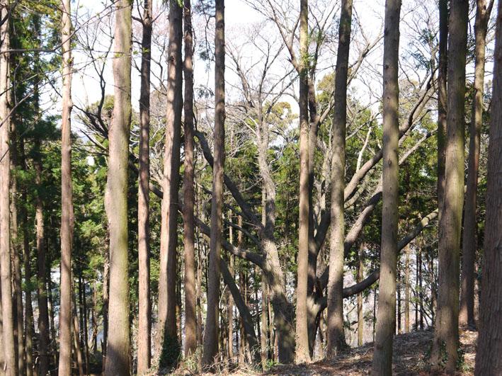 六国見山の夫婦桜、見ごろは4月10日過ぎか(3・27)_c0014967_17594288.jpg