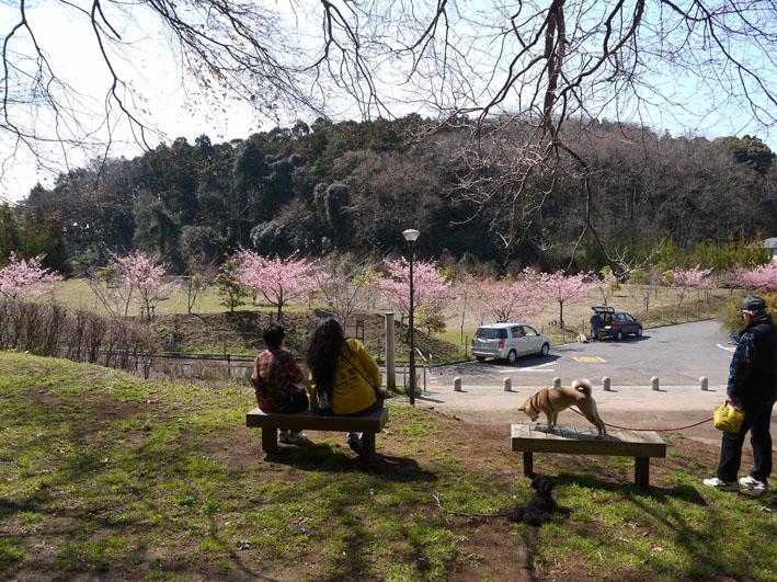 六国見山のカワズザクラ昨年より1ヶ月遅れ満開(3・27)_c0014967_1845916.jpg