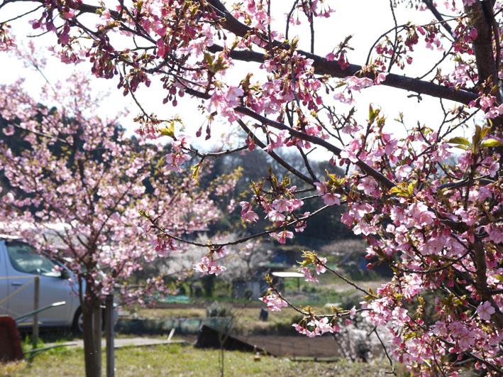 六国見山のカワズザクラ昨年より1ヶ月遅れ満開(3・27)_c0014967_1852083.jpg