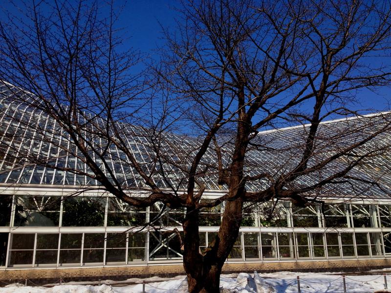雪どけ 苫小牧中央公園の桜の木 5月初め頃開花かな_a0160581_18363355.jpg