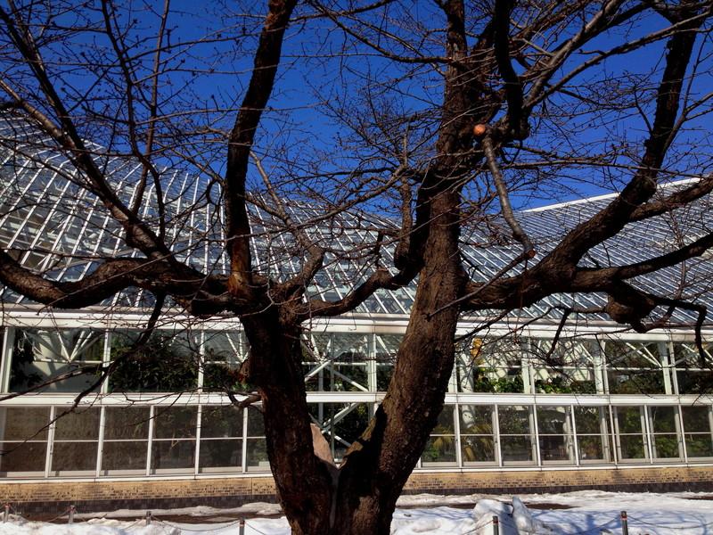 雪どけ 苫小牧中央公園の桜の木 5月初め頃開花かな_a0160581_18375636.jpg