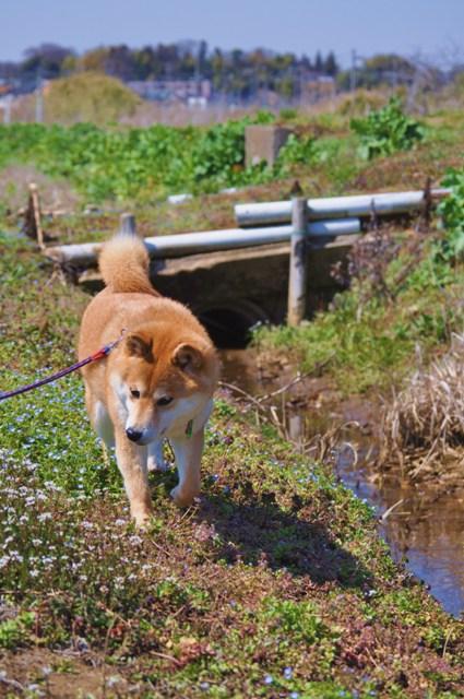 春の小川でかぼちゃんとふたり_a0126590_75228.jpg