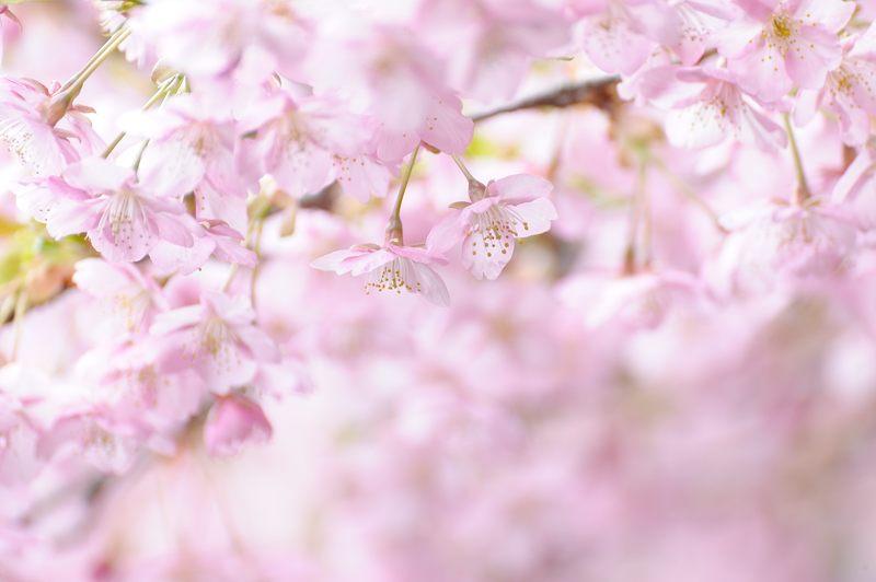 車折神社の河津桜 其の一_f0032011_18424525.jpg