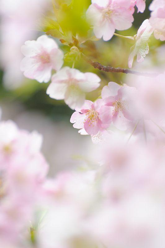 車折神社の河津桜 其の一_f0032011_1843344.jpg