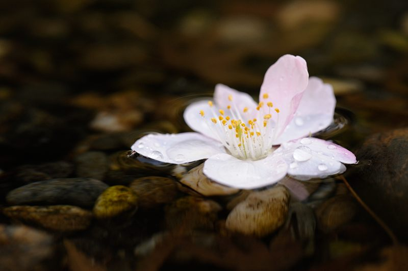 車折神社の河津桜 其の一_f0032011_1844295.jpg
