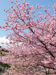 河津桜まつりはピンクが濃い_c0053520_22535888.jpg