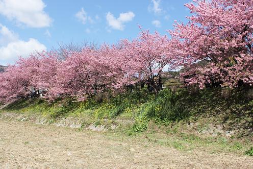 河津桜まつりはピンクが濃い_c0053520_23253913.jpg