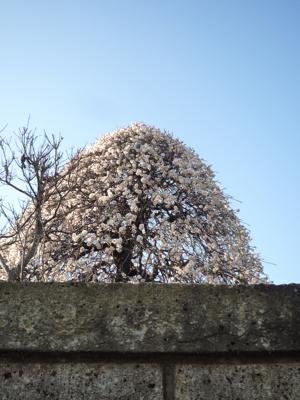 ようやく梅の季節_c0004024_1015551.jpg
