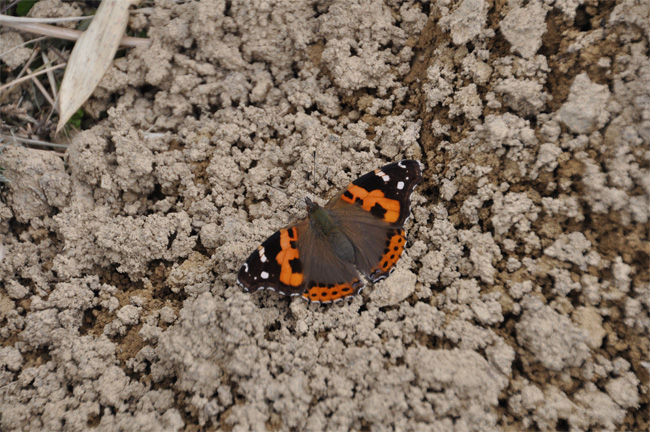 2012年3月の蝶_e0194952_9441839.jpg