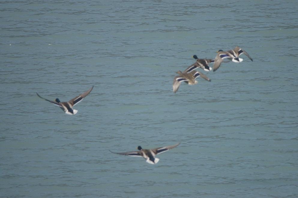 鴨が飛んでる_f0163491_161219100.jpg