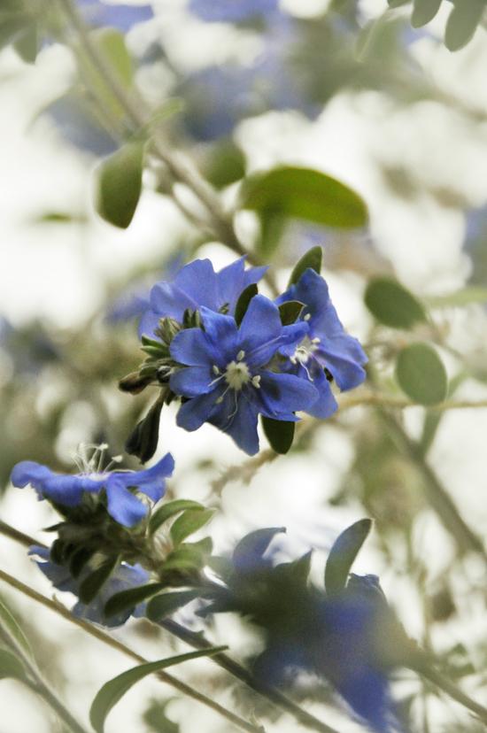 今年もアメリカンブルーが咲きました!_e0162117_1454197.jpg