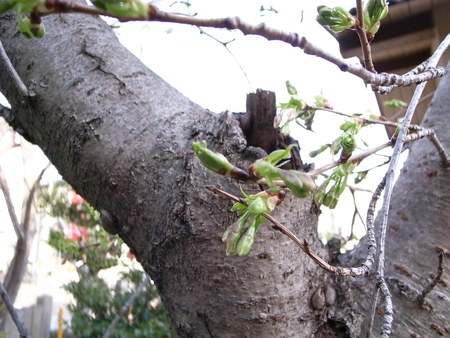 桜_f0218831_17101312.jpg