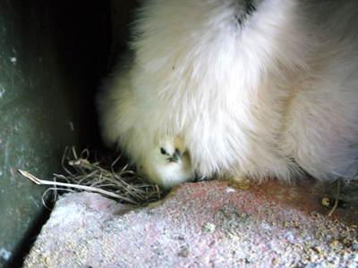 烏骨鶏のヒナ生まれました_a0254656_13111911.jpg