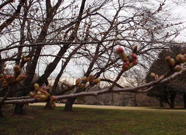 桜の蕾♪〜_c0110361_16161329.jpg