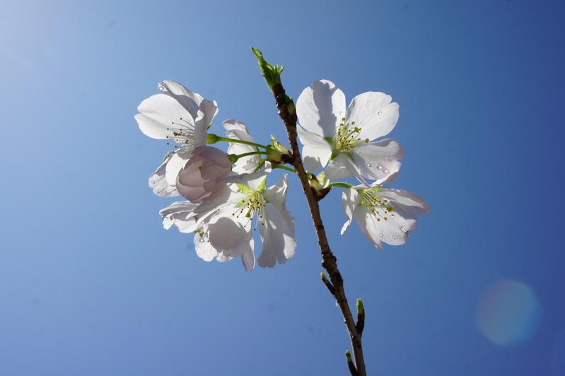 桜前線北上中  2012.3.29_e0223771_17184141.jpg