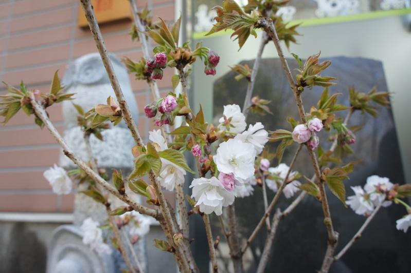 桜前線北上中  2012.3.29_e0223771_17185925.jpg