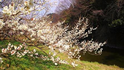 梅の花_e0128485_17372681.jpg