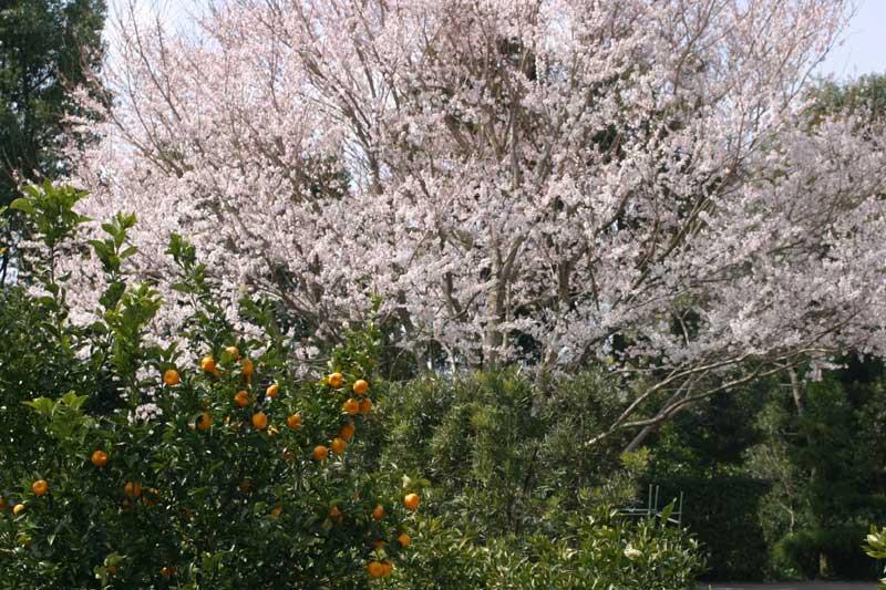 桜と橘       _d0141987_11291685.jpg