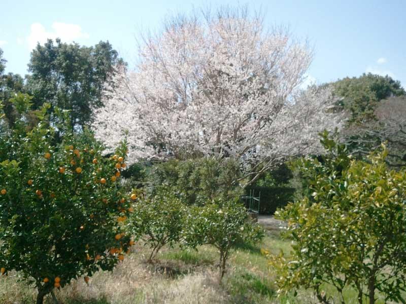 桜と橘       _d0141987_11292865.jpg