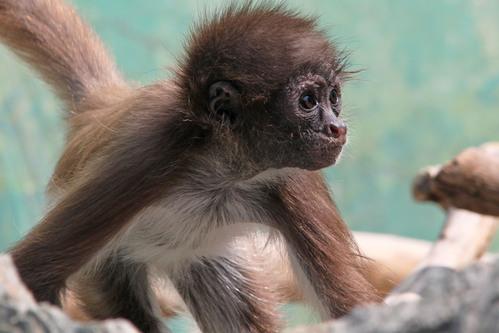 ケナガクモザル:Long-haired Spider Monkey_b0249597_5375980.jpg