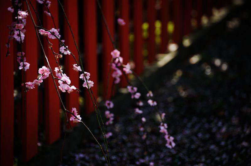 車折神社の河津桜 其の二_f0032011_18522115.jpg