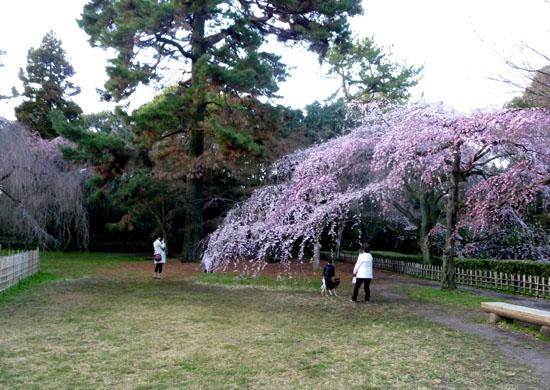 京都御苑 糸しだれ桜_e0048413_2181159.jpg