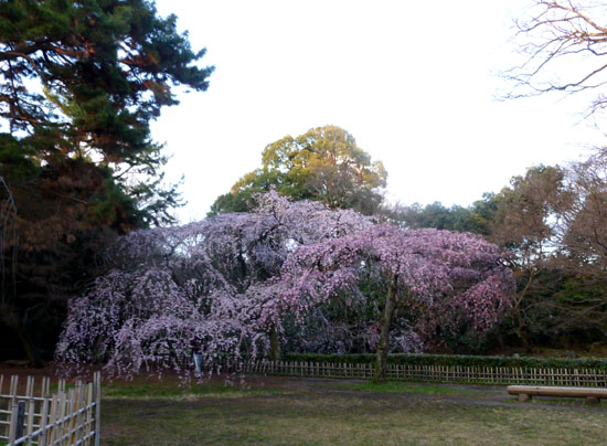 京都御苑 糸しだれ桜_e0048413_2183488.jpg