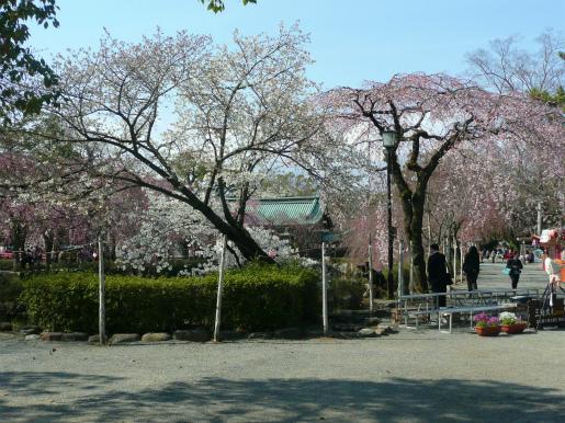 三嶋大社の桜_c0087349_5184235.jpg