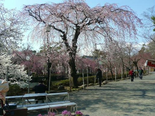 三嶋大社の桜_c0087349_519953.jpg