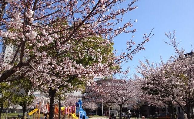 ホークス日和で~す!!桜~5分咲き!in福岡市…姪浜中央公園_d0082356_10371976.jpg