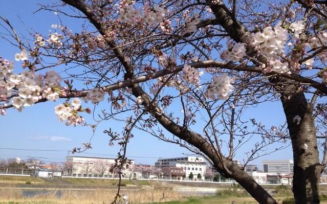 ホークス日和で~す!!桜~5分咲き!in福岡市…姪浜中央公園_d0082356_10375094.jpg