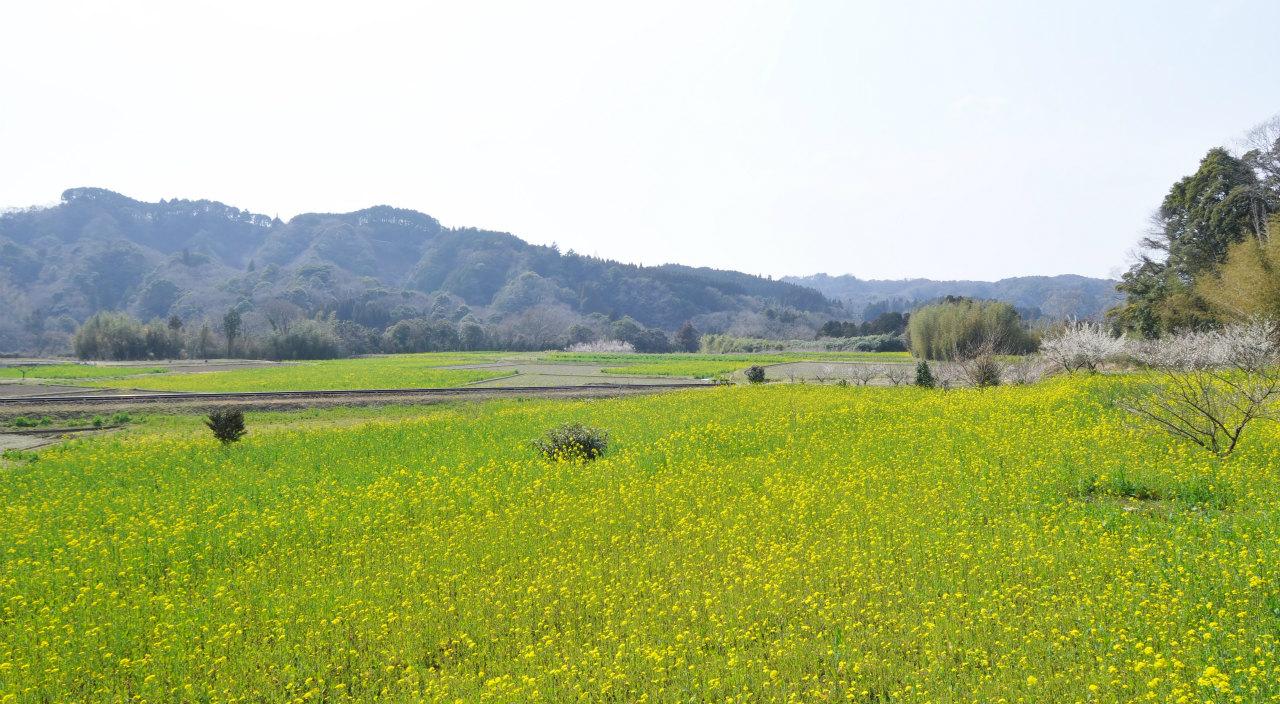 菜の花列車 2 ~仲春の小湊鐵道~_f0018464_8373488.jpg