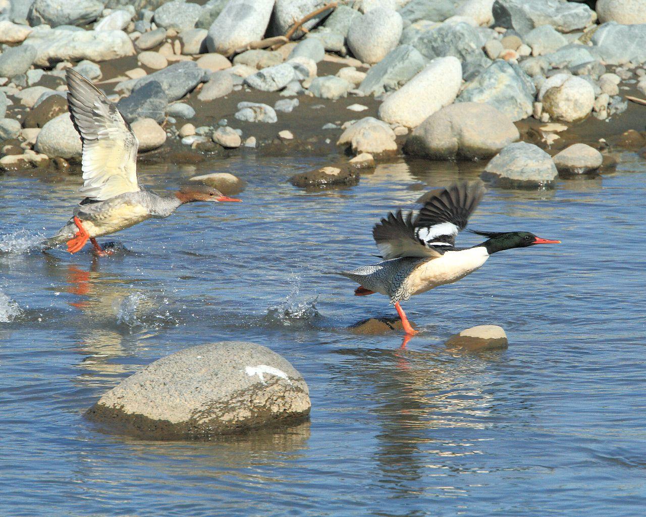 コウライアイサ、来シーズンは家族で相模川に戻って来てね!_f0105570_12244943.jpg