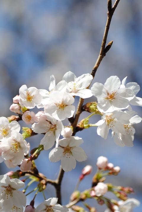 やっと桜が_c0195496_22561625.jpg