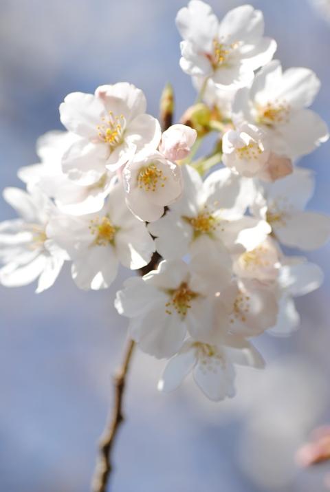やっと桜が_c0195496_23134298.jpg