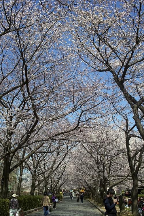 サクラ、さくら、桜、そして青空の花畑園芸公園_a0037907_20514056.jpg