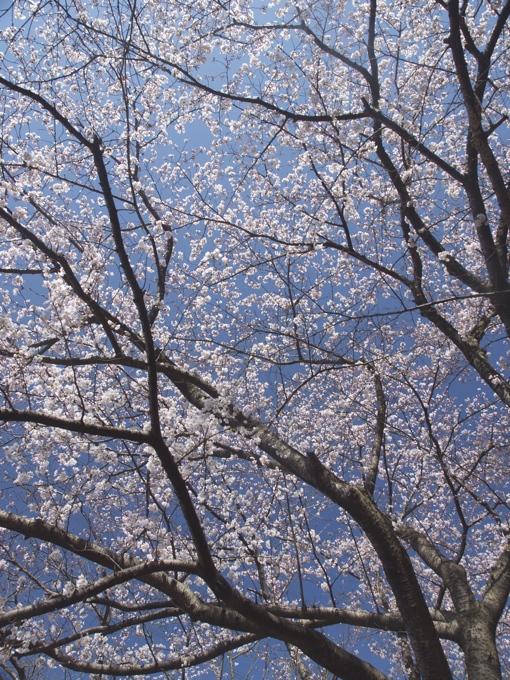 サクラ、さくら、桜、そして青空の花畑園芸公園_a0037907_20534482.jpg