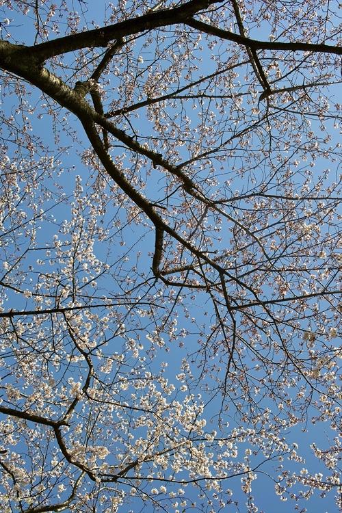 サクラ、さくら、桜、そして青空の花畑園芸公園_a0037907_20541933.jpg