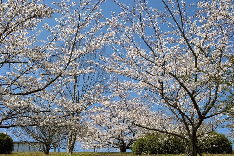 サクラ、さくら、桜、そして青空の花畑園芸公園_a0037907_2055157.jpg