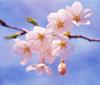 心癒す桜ショット!&お気に入りのお花見スポット_00000010_11334657.jpg