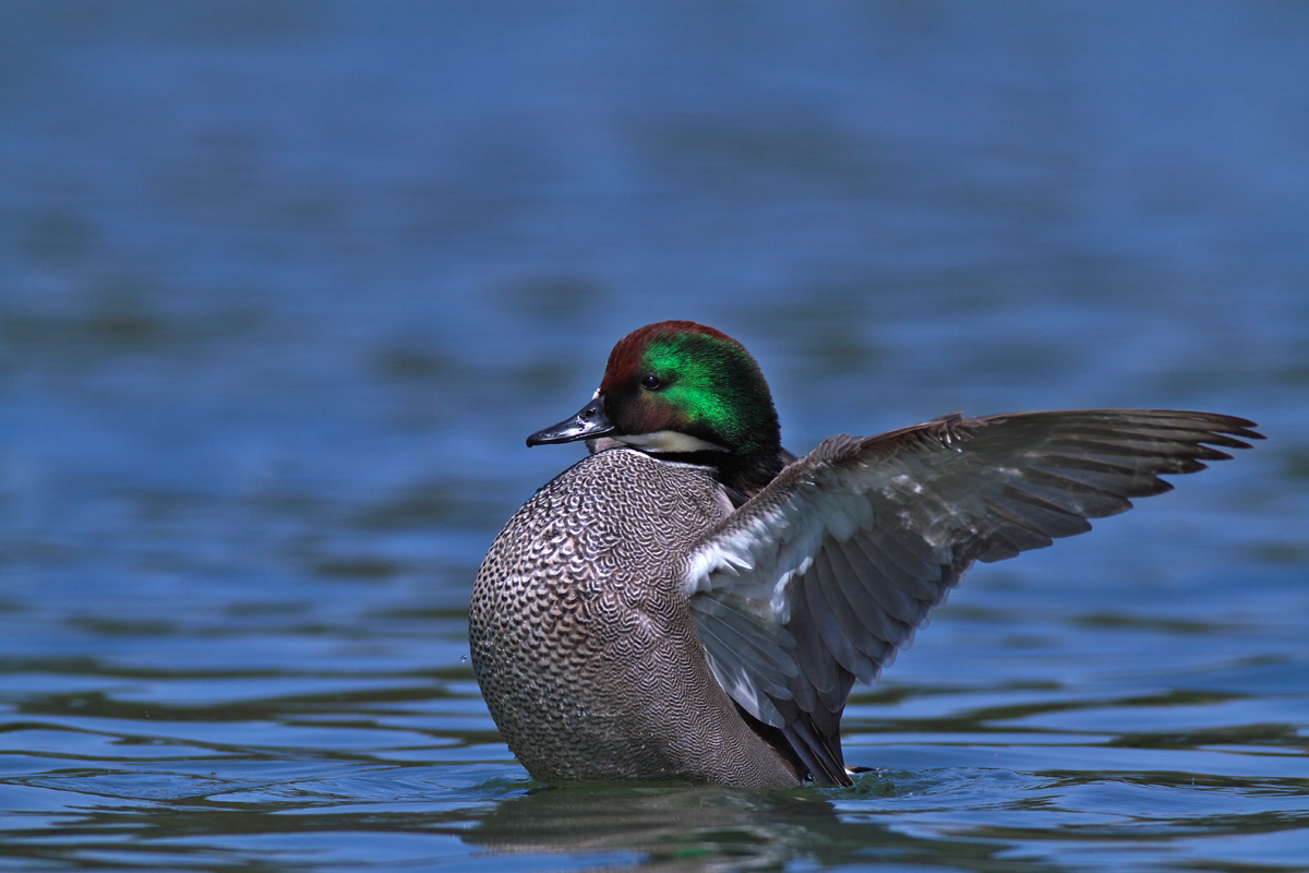 ヨシガモ(Falcated duck)_d0013455_21194460.jpg